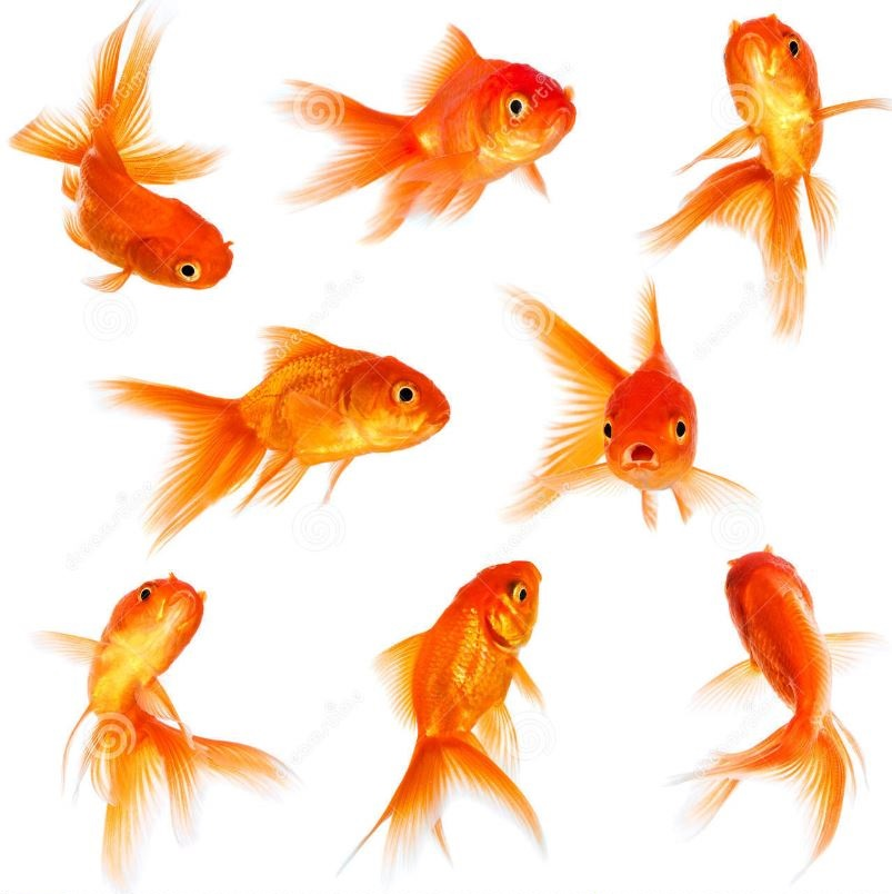 Gold koi fish bing images for Pesce rosso butterfly